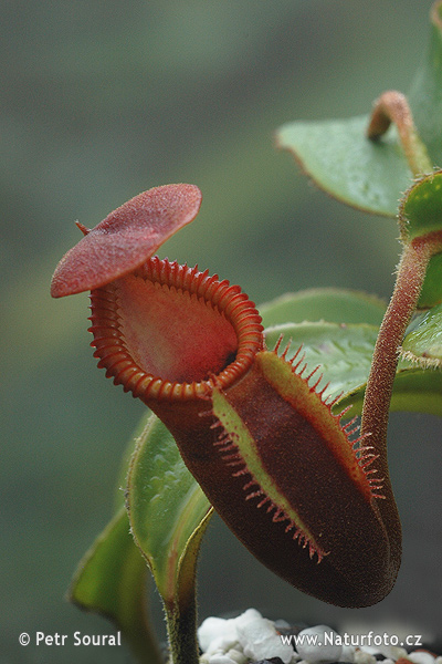 Pitcher Plant (Nepenthes macrophylla)