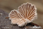 Schizophyllum commune