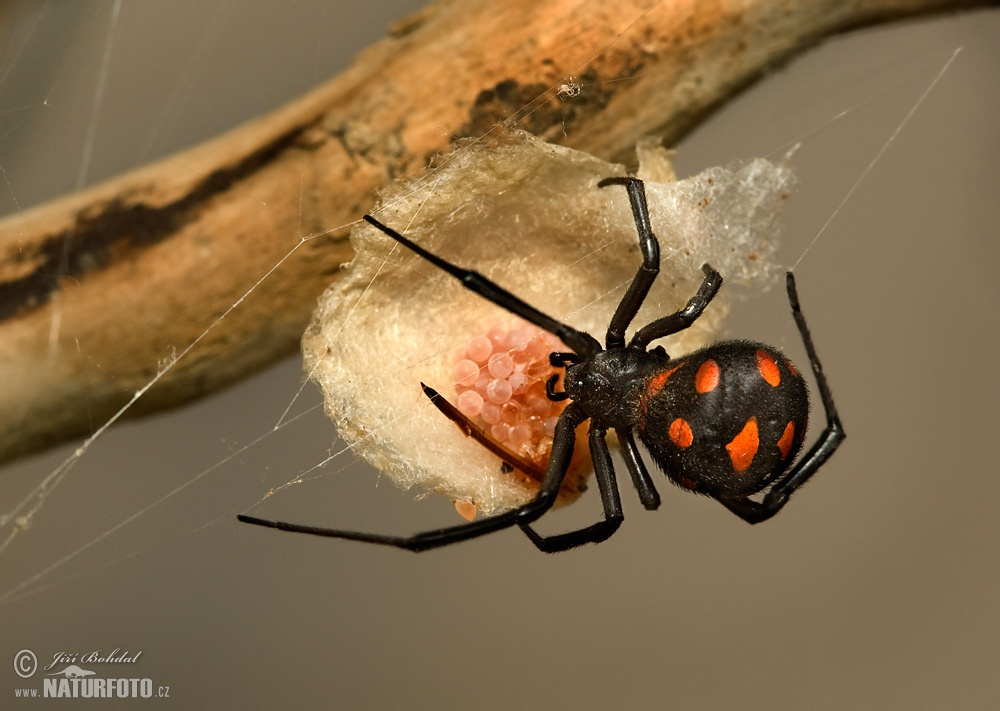 Ristihämähäkki