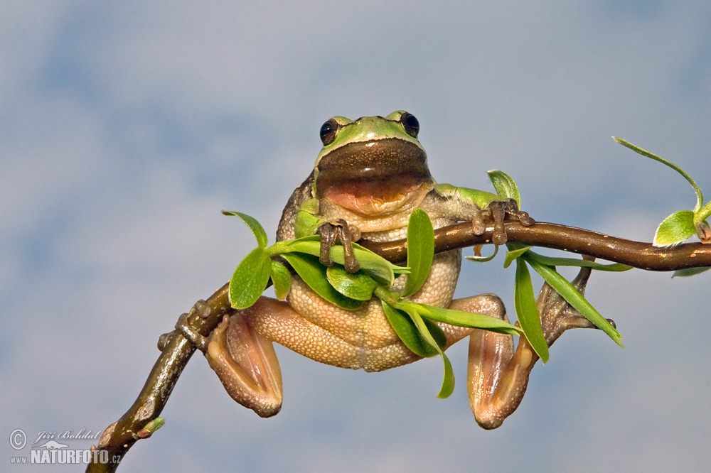 Amphibiens